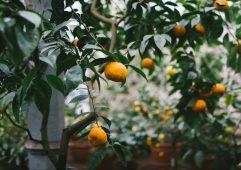mandariny_apelsiny_vetki_derevo_111534_1920x1200